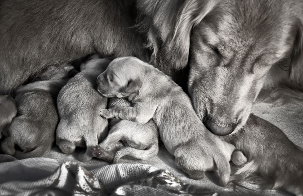Golden retriever and newborn puppies, a mother's love