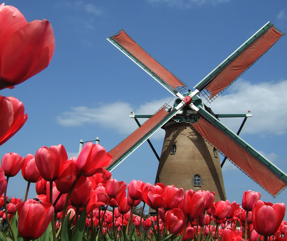 Windmill in Holland, no, Sakura City Tulip Festival in Japan