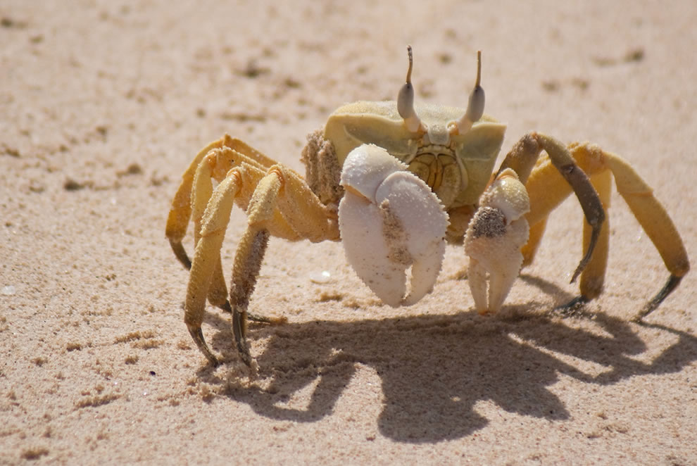Horn-eyed ghost crab taken at Shuab beach, Socotra