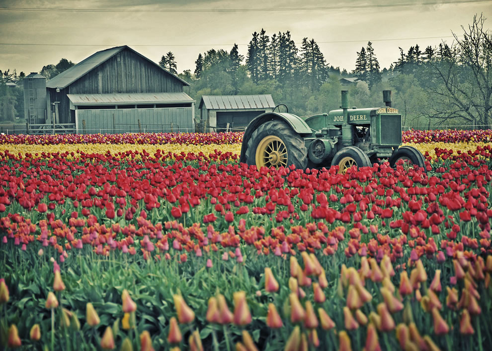 John Deere tractor, barn and tulip fields in Oregon