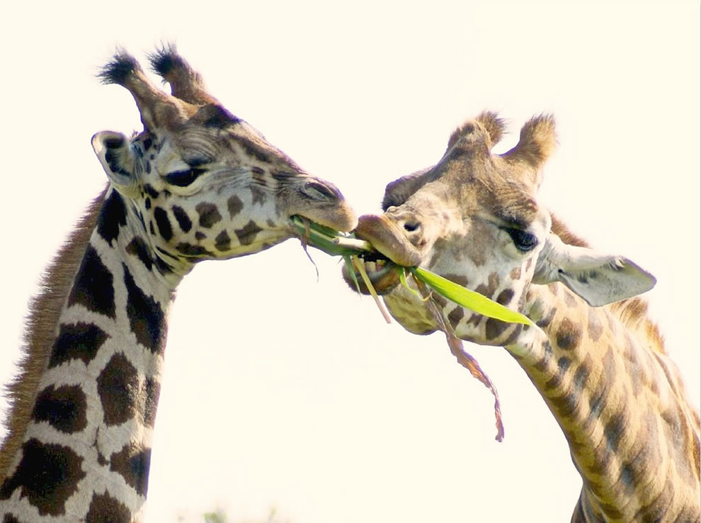 Mom giraffe teaching her son to eat his veggies