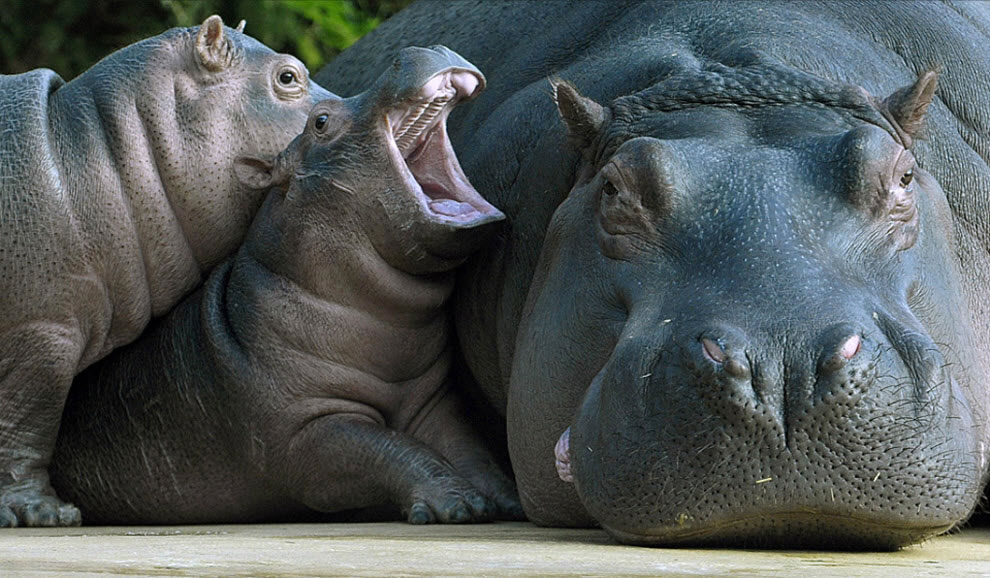 Mom, he's touching me! Mom hippo with two babies