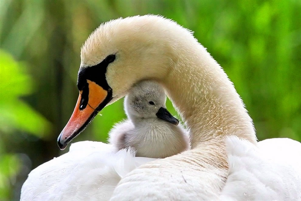 Moma swan and baby