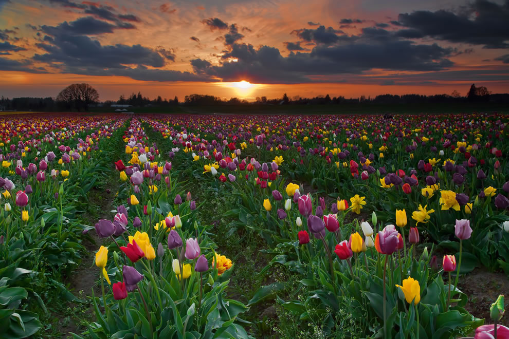 Oregon Tulip Fields at sunset