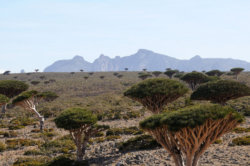 Socotra Dragon's blood trees dotting the Haghier massif and Diskum plateau