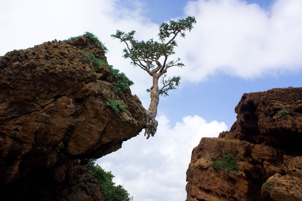 Socotra, dripping frankincense, shown here with frankincense tree rooted on the cliff's edge