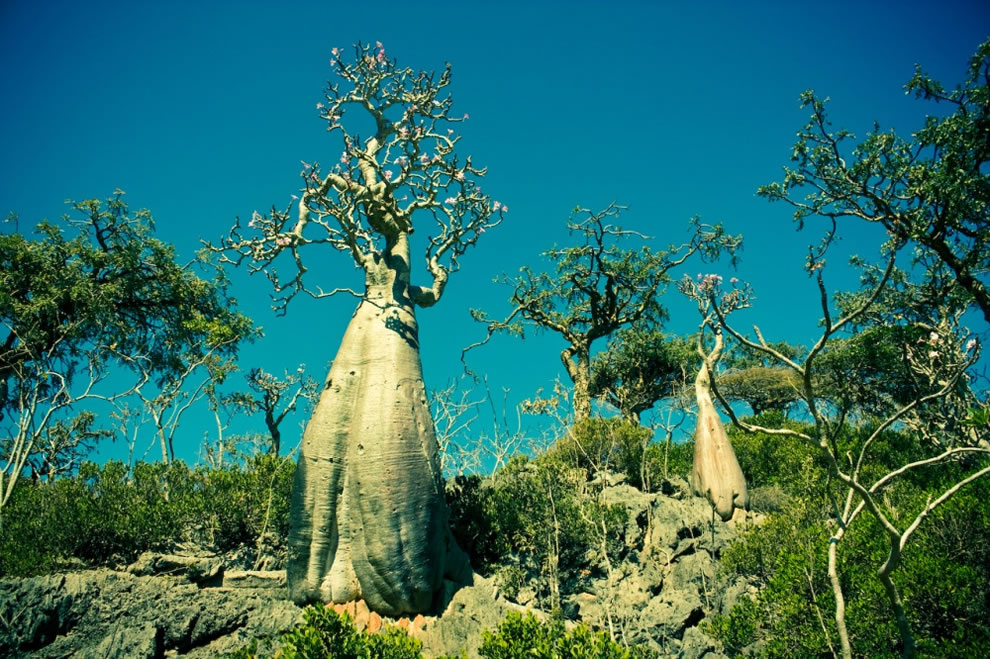 Socotra is considered the jewel of biodiversity in the Arabian Sea