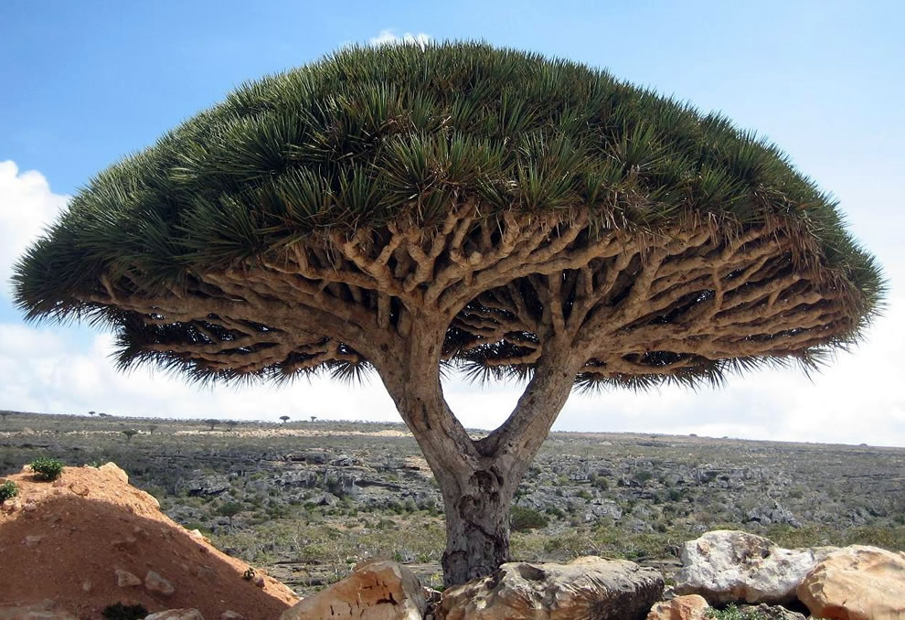 Socotra's most unusual and famous tree, the dragon's blood tree