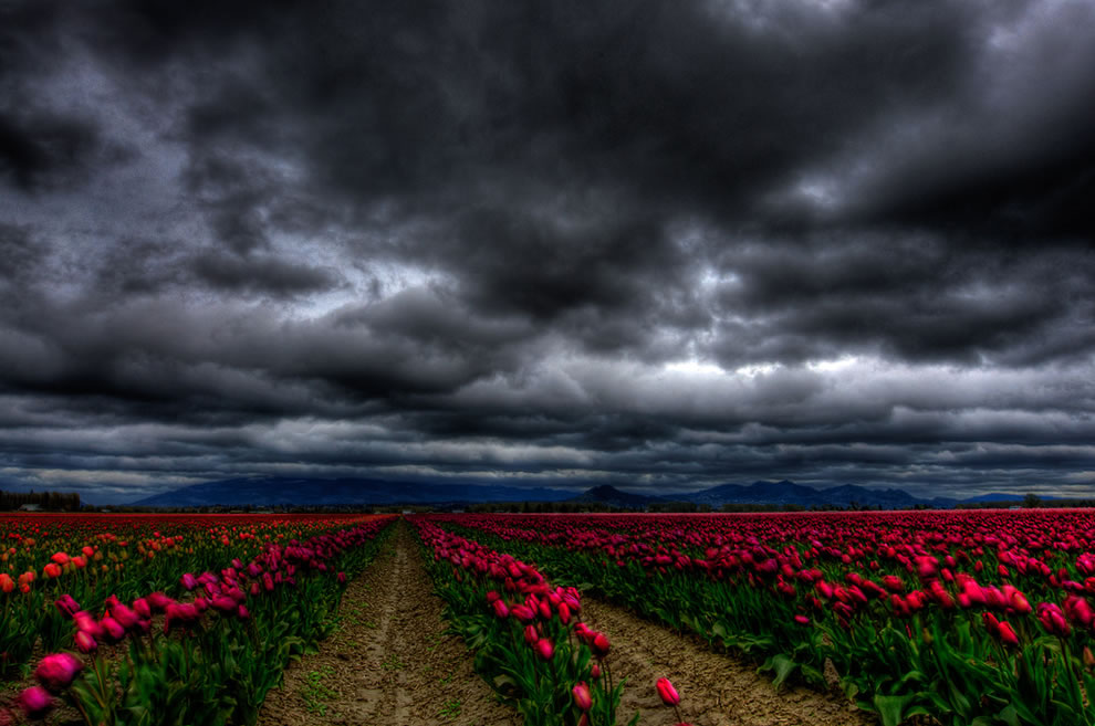 The winds of Skagit at Skagit county tulip festival in Washington
