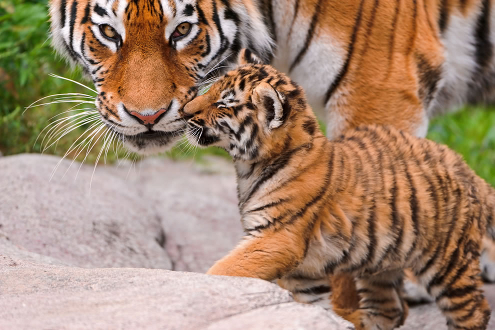 Tiger mom and child having a loving moment