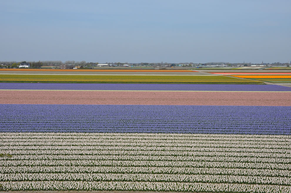 Tulip farmlands outside Lisse, next to Keukenhof, Holland