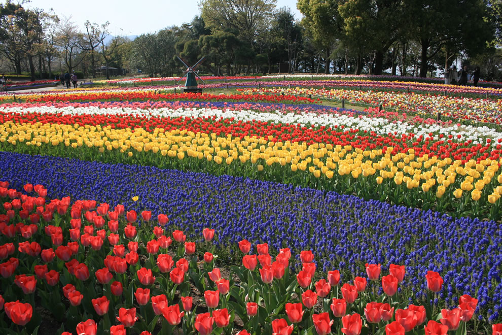 Tulips in Kiso Sansen National Government Park, Japan