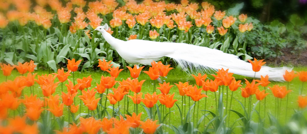 White peacock in the orange tulips at Keukenhof