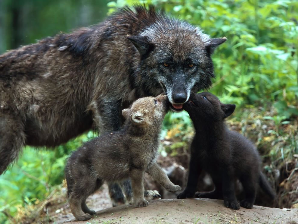 Wolf cubs kissing mom