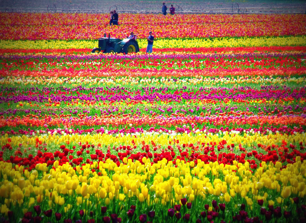 Woodburn Tulip Festival in Oregon, tractor, tulip fields