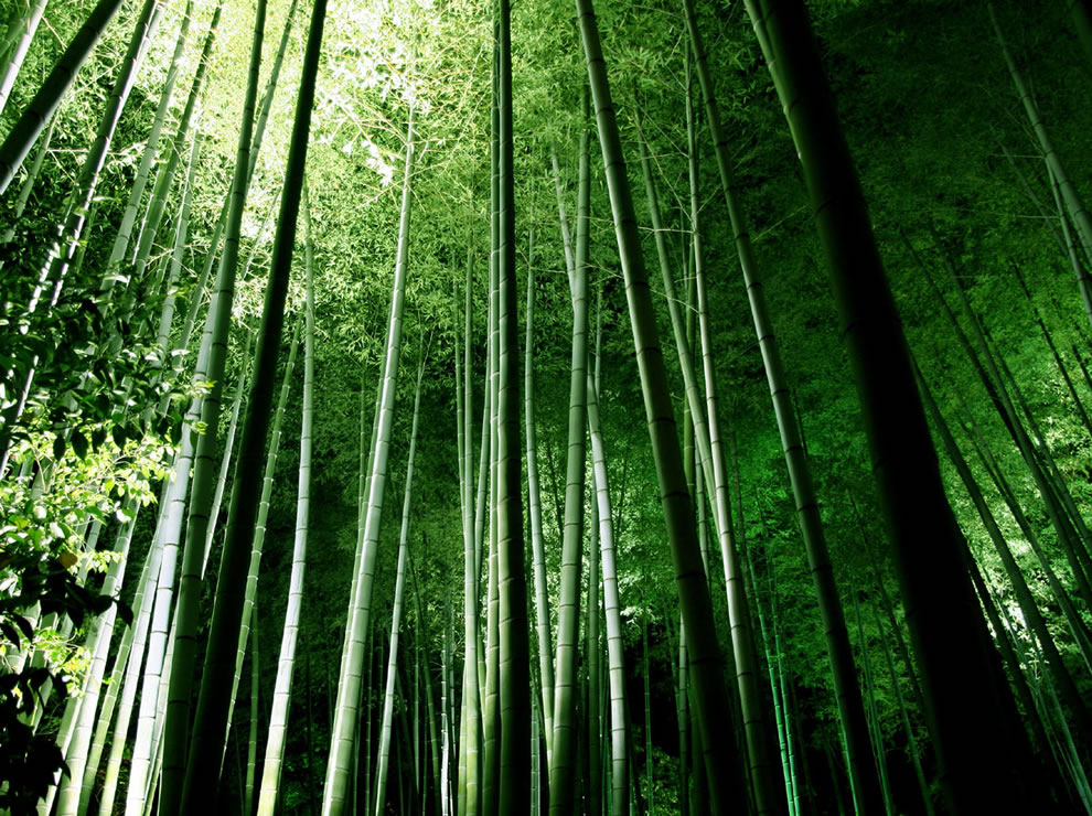 Bamboo forest at Kyoto's Kodaiji temple