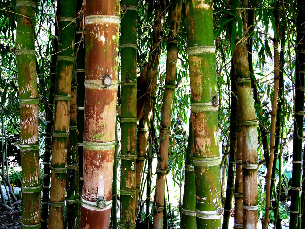 Bamboo forest at the Quail Botanical Gardens in Southern California