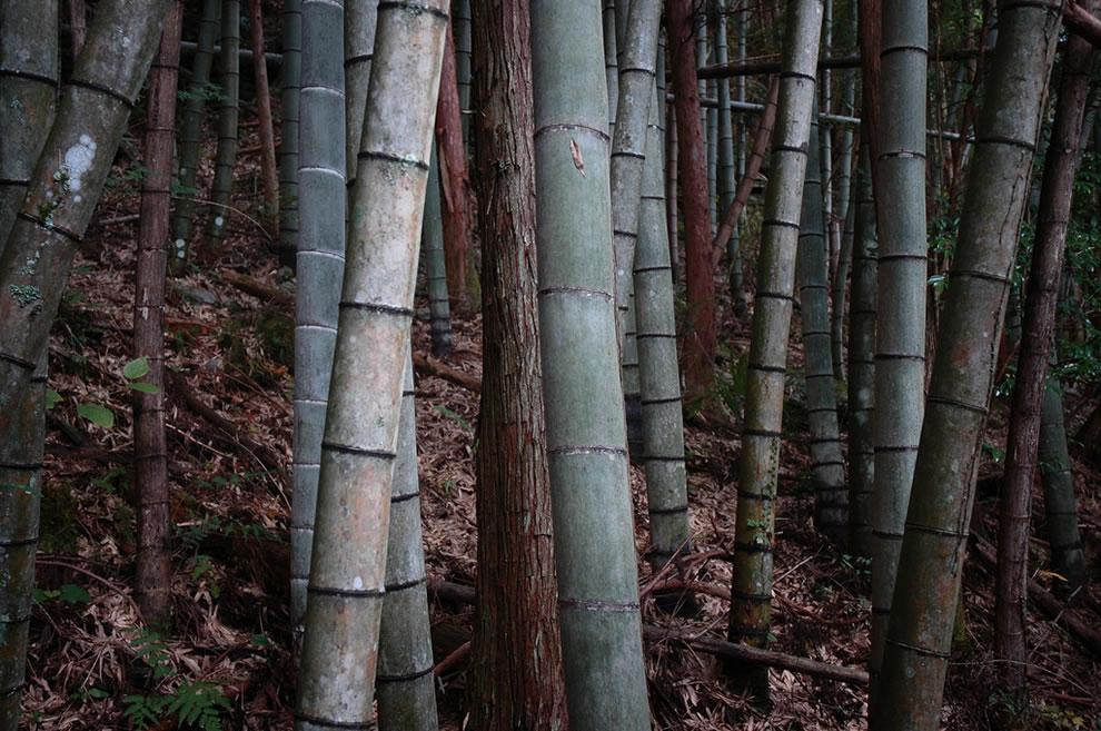 Bamboo forest in Nagaoka-gun, Kochi Prefecture, JP