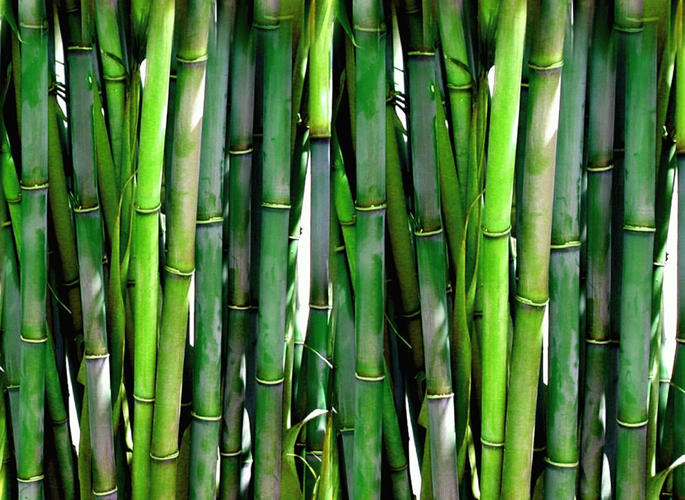 Dense green bamboo forest