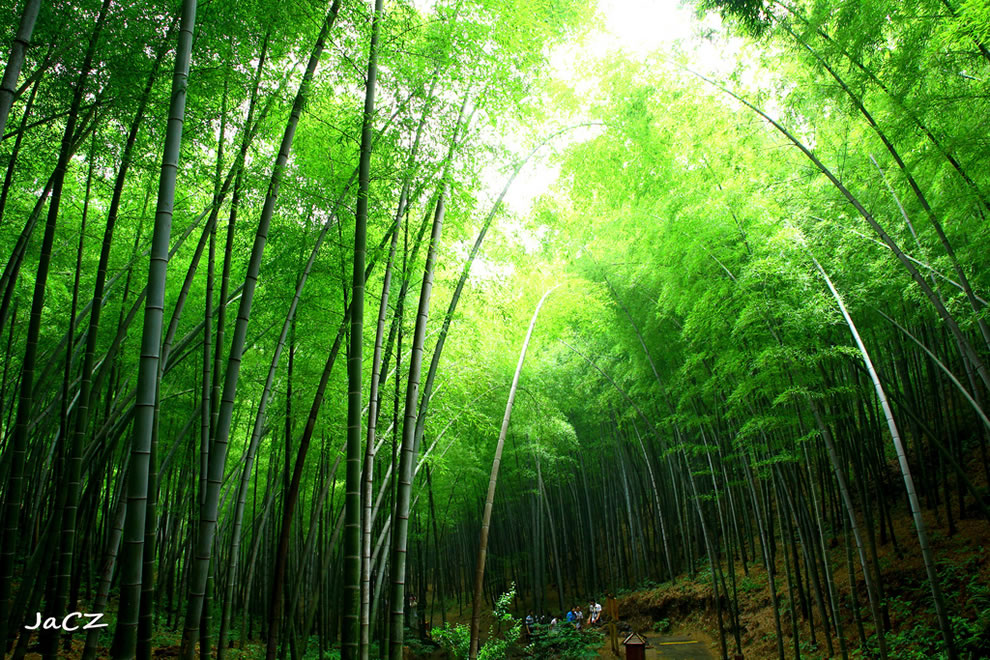 Green Bamboo sea