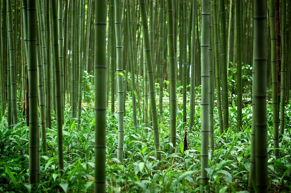 Inside the bamboo forest of Kyoto Japan