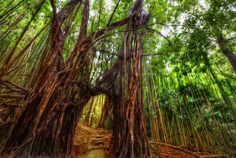 Oahu, the Secret Path Through the Bamboo Forest