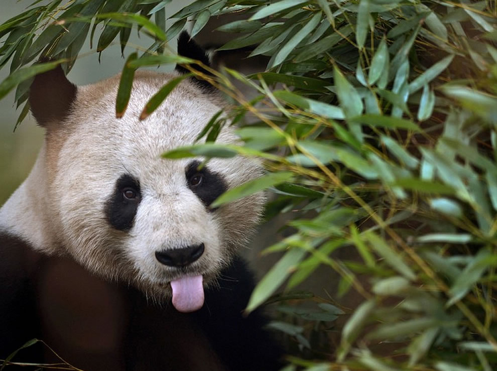 Panda feeding on bamboo
