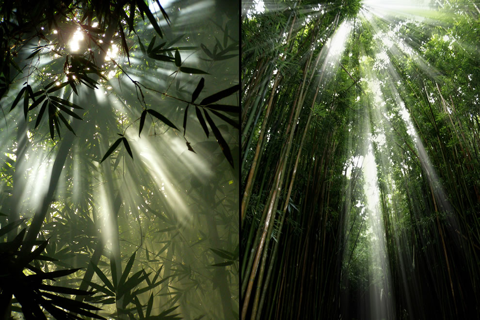 Sunlight shining into Malaysia and Maui bamboo forests