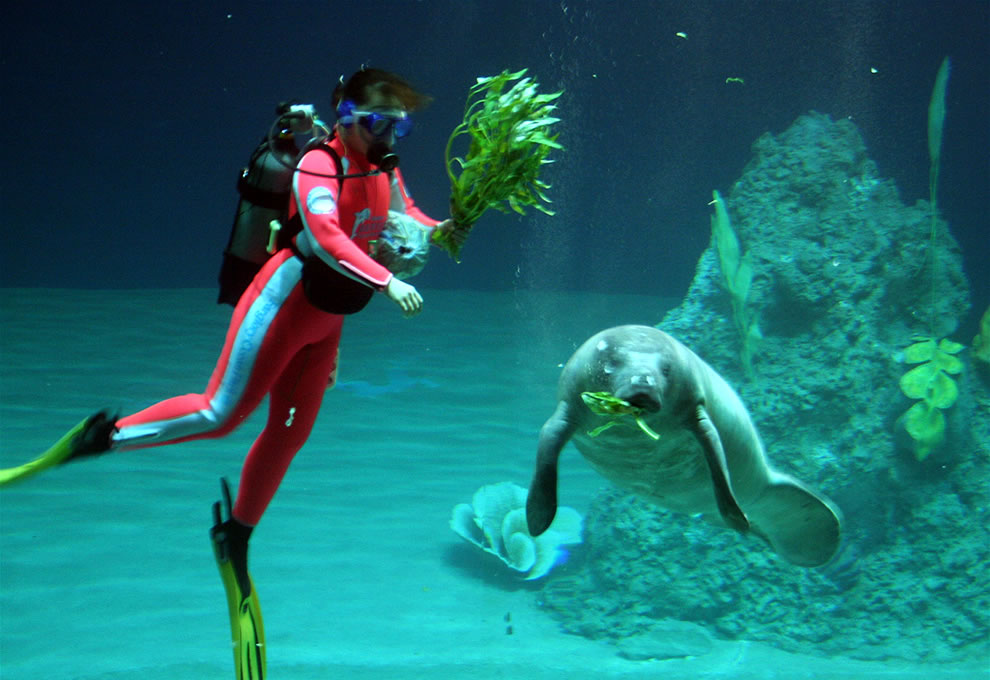 Diver feeding a baby manatee