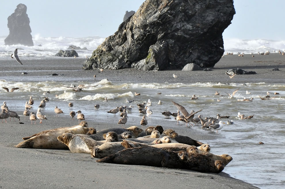 Harbor seals and seagulls at Redwood National Park