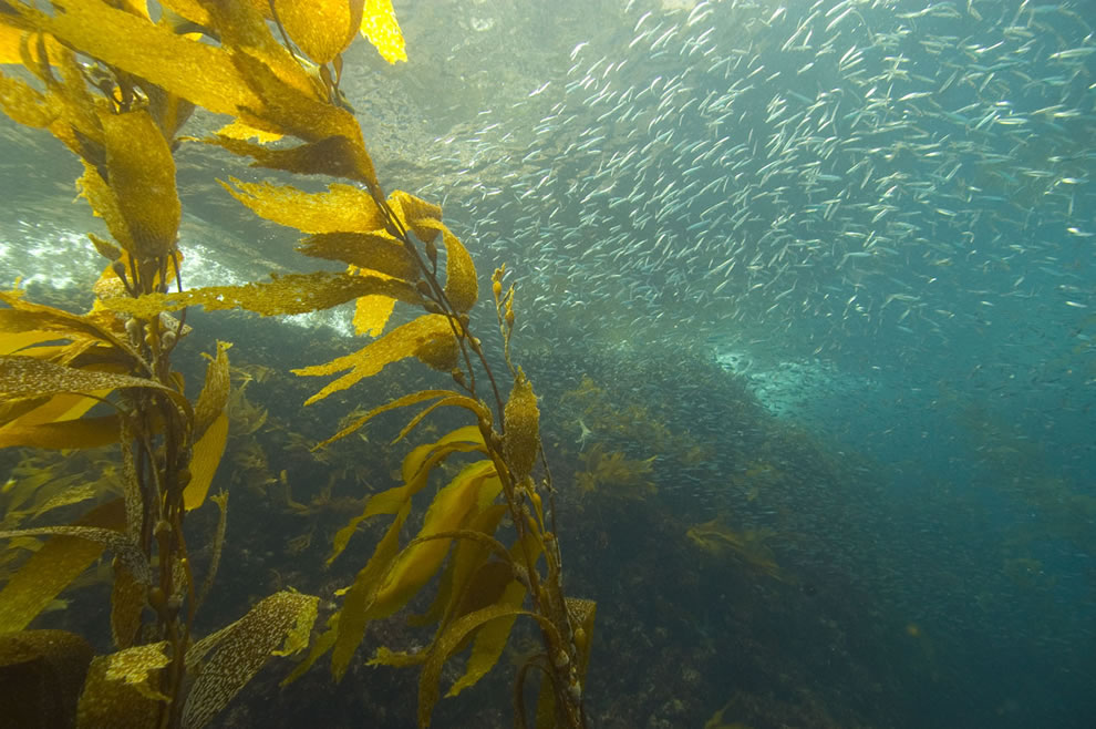 Kelp forest and sardines, Anacapa Island, Channel Islands National Marine Sanctuary