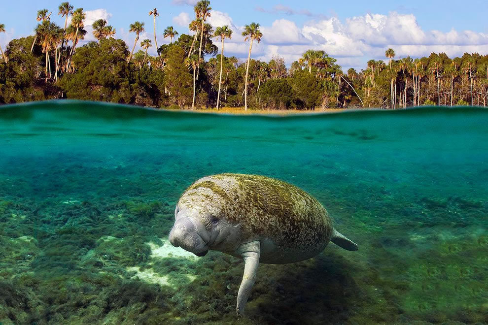 King Spring, one of many warm-water springs in Kings Bay, provides 72 degree water for manatees year-round