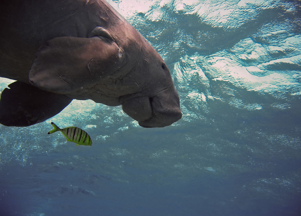 Manatee swimming over divers in Egypt