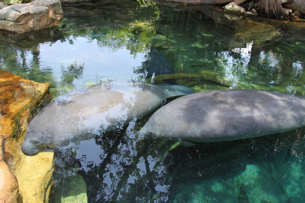 Manatees at Florida, not in the wild, but at Sea World