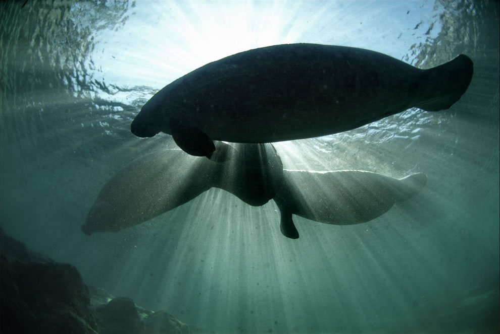 Manatees crossing over the King Spring toward the manatee sanctuary's shallow waters