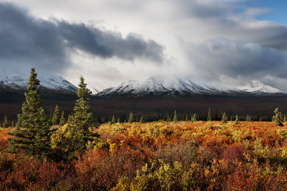 Storm of colors, autumn in Alaska at Denali National Park and Preserve