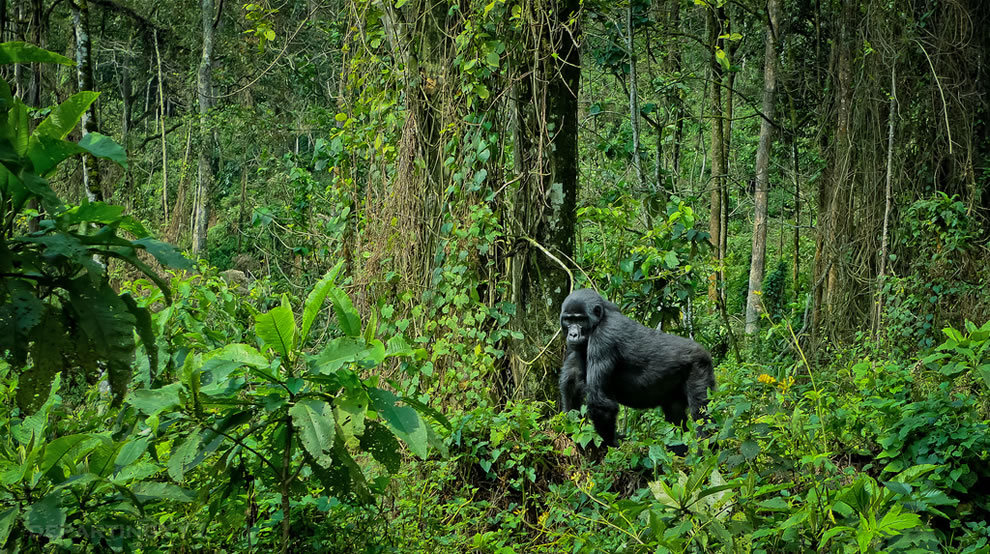 Gorilla in Bwindi Impenetrable National Park