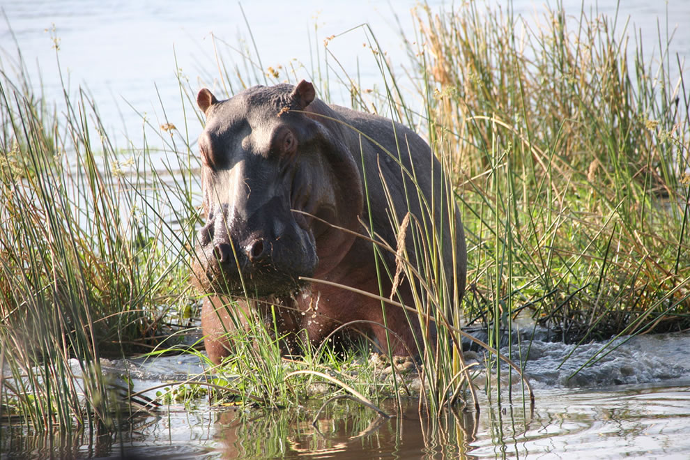 Hippo emerges from the grass at the edge of the Zambezi River at Mana Pools National Park