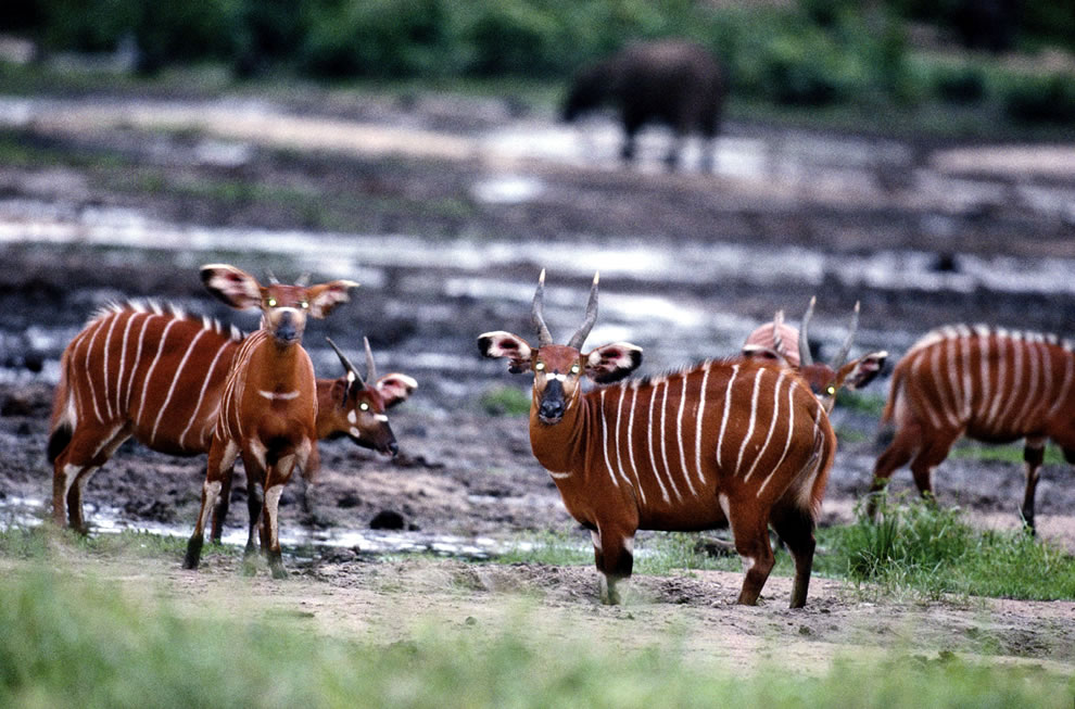 Manovo Gounda St Floris National Park World Heritage Site in 1988 due to poaching 80 percent of wildlife