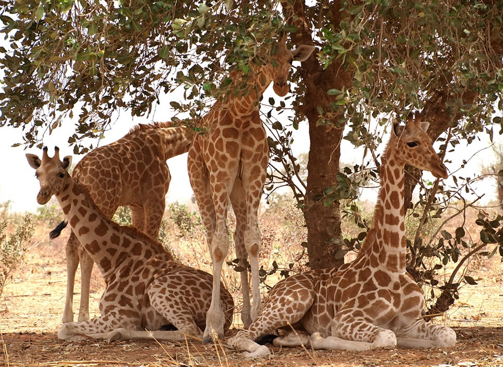 Young giraffes at W National Park of Niger, UNESCO World Heritage Site