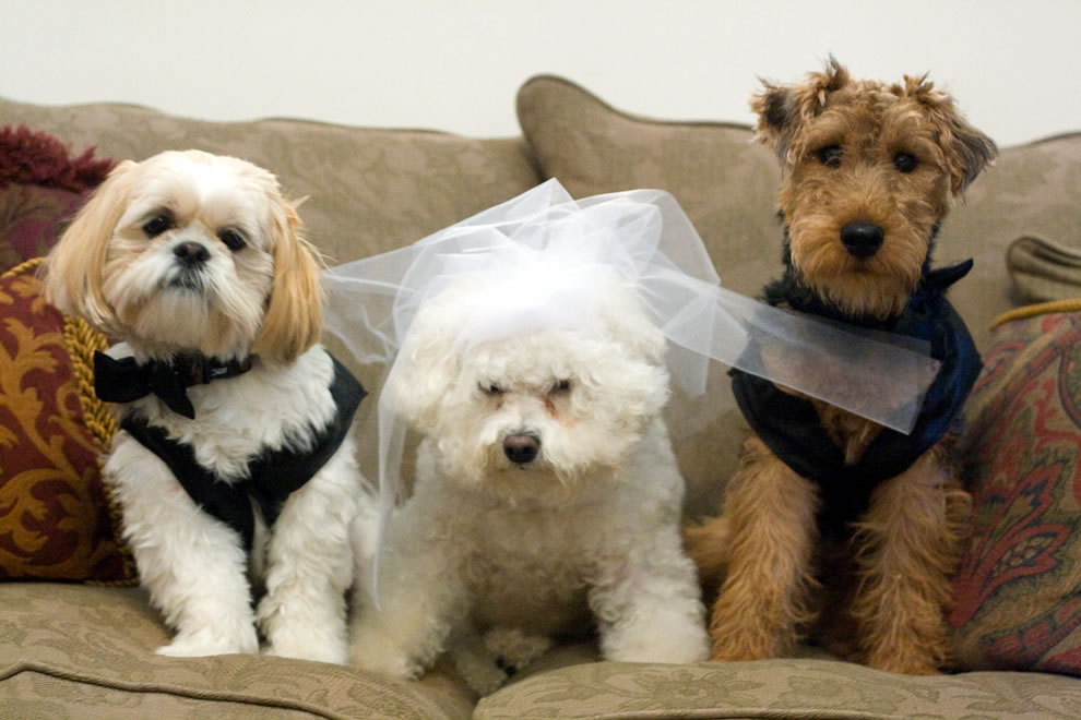 Canine wedding