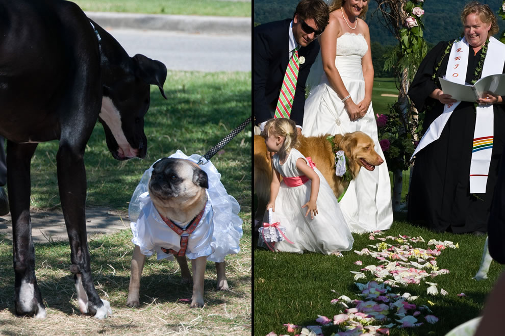 Meeting the dog bride, dog in wedding