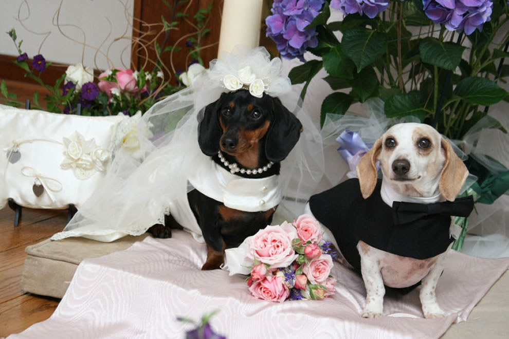 The Bride and Groom, dog wedding