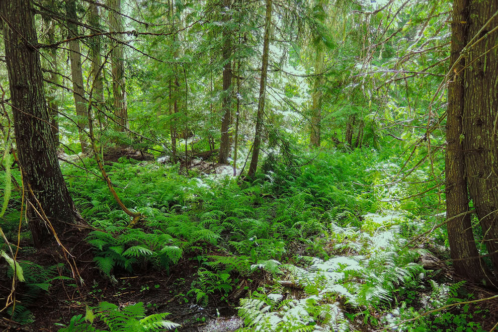 Undergrowth in Colville National Forest, Pacific Northwest National Forest