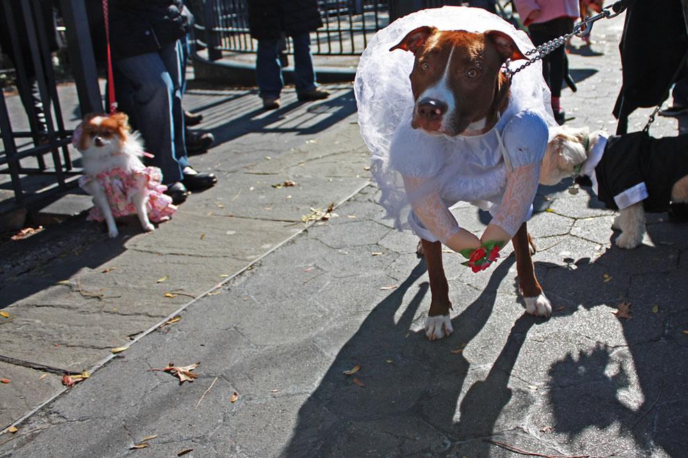Modern dog bride