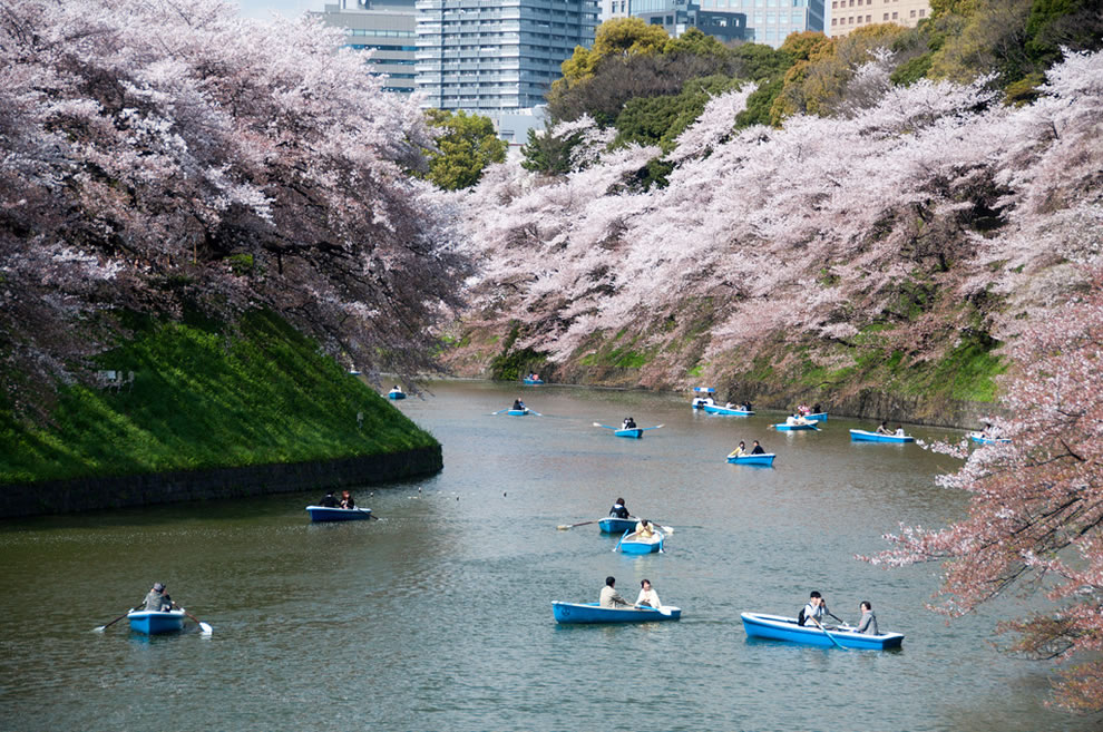 Cherry blossoms and blue boats in Tokyo