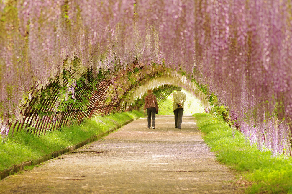 Couple strolling under wisteria tunnel in Japan