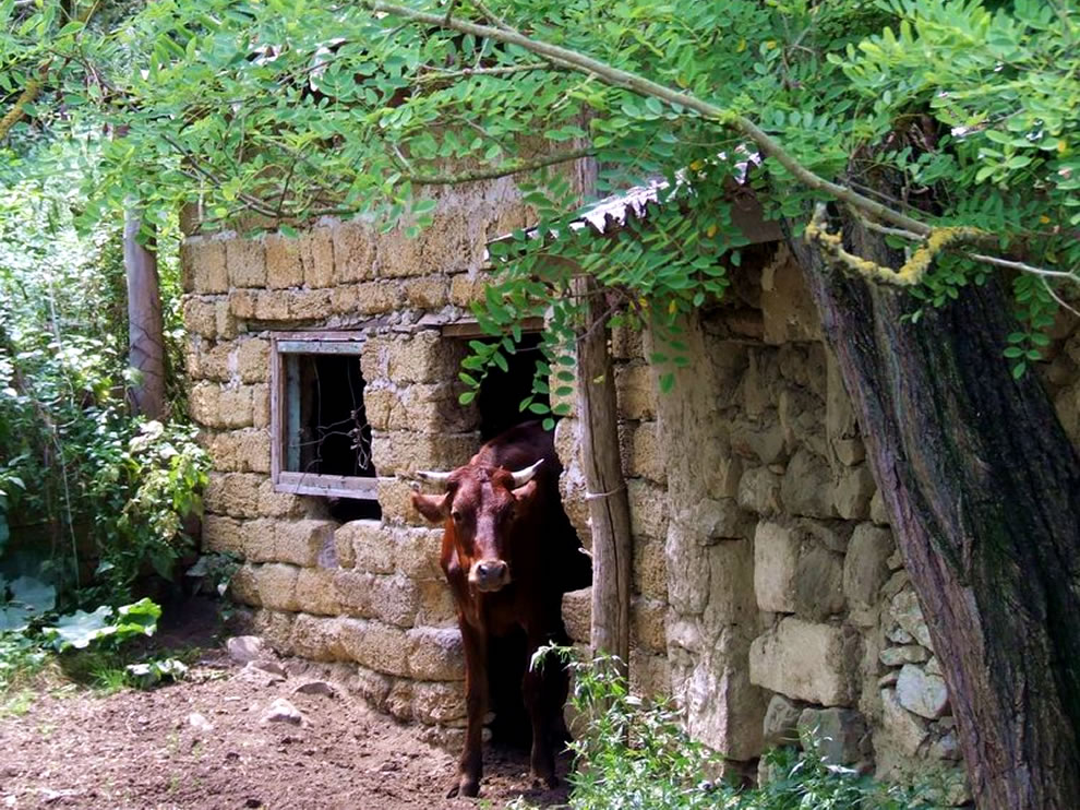 Cow in the ruins, a small, abandoned farm outside Sudak, Crimea