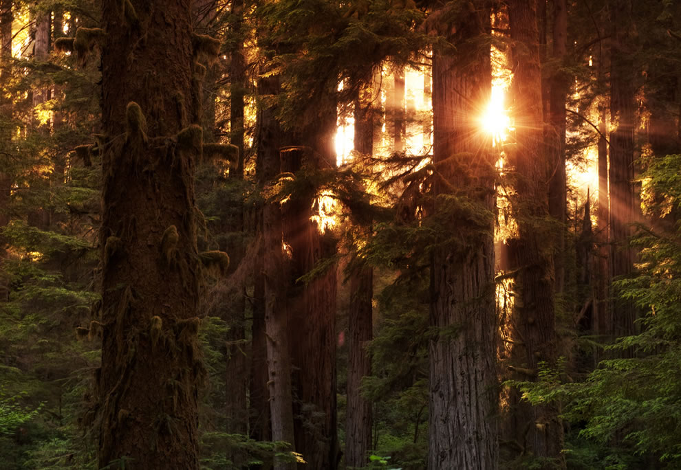 Crepuscular rays, the coastal Redwood forests of northern California at sunset