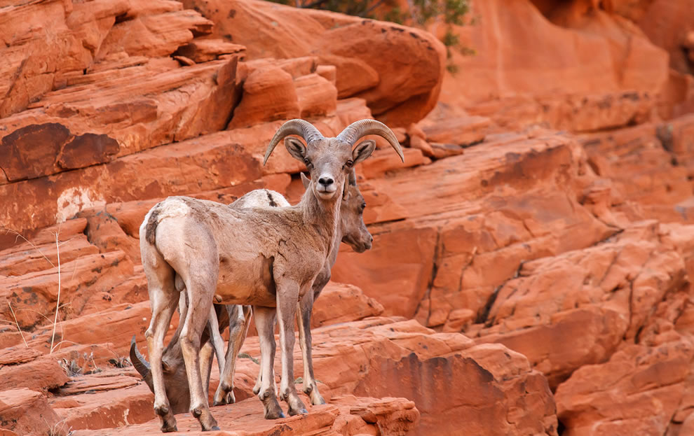 Desert Big Horn Sheep, Valley Of Fire State